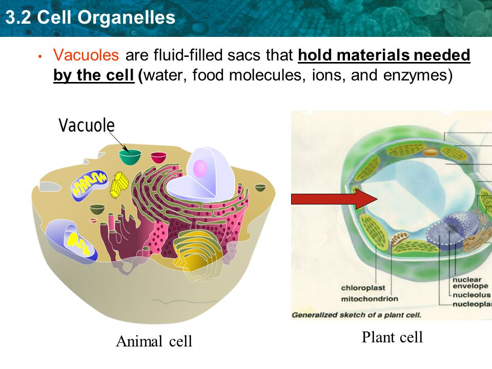 Vacuoles are fluid-filled sacs that hold materials needed by the cell (water, food molecules, ions, and enzymes)