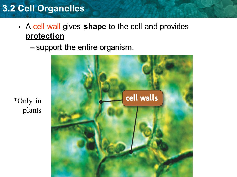 A cell wall gives shape to the cell and provides protection