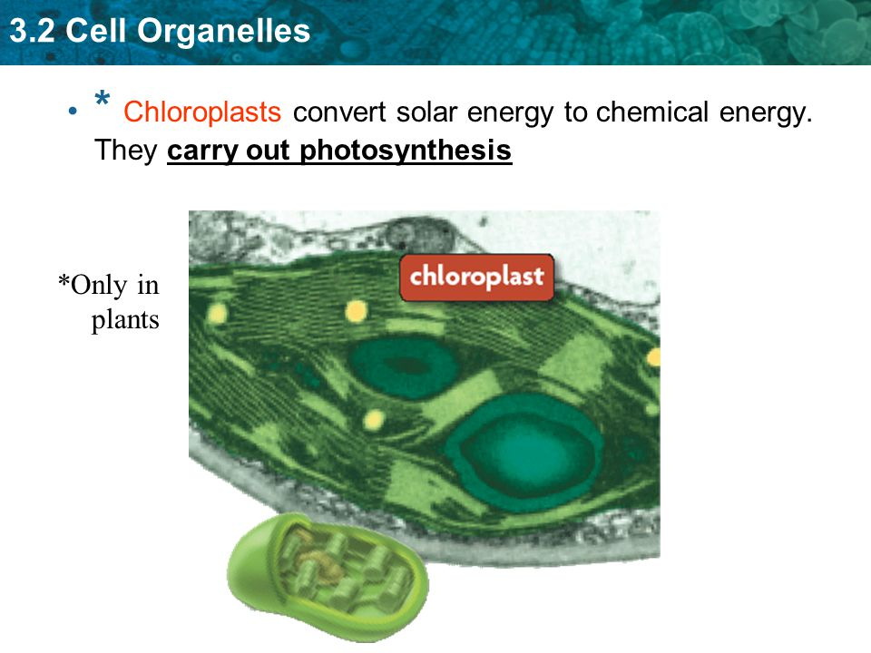 Chloroplasts convert solar energy to chemical energy