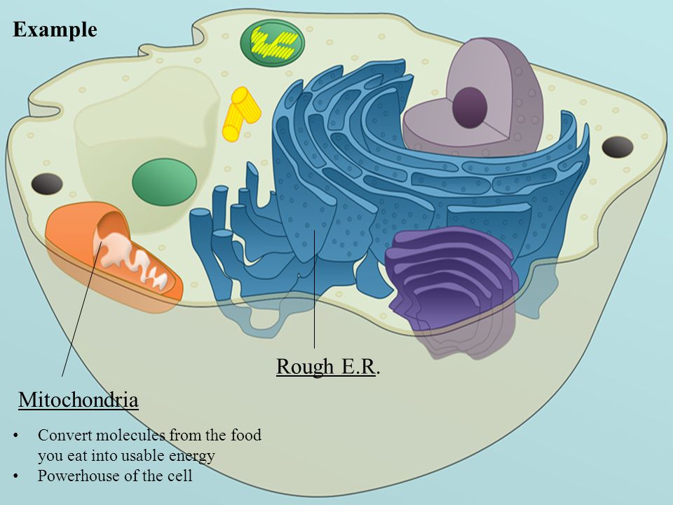 Example Rough E.R. Mitochondria