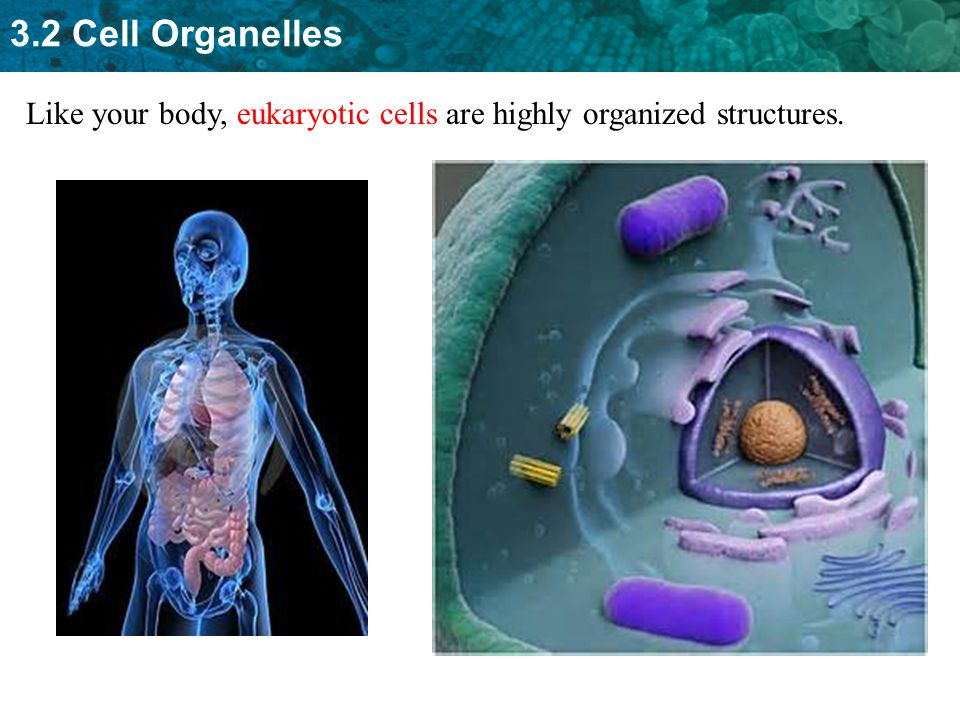 Like your body, eukaryotic cells are highly organized structures.