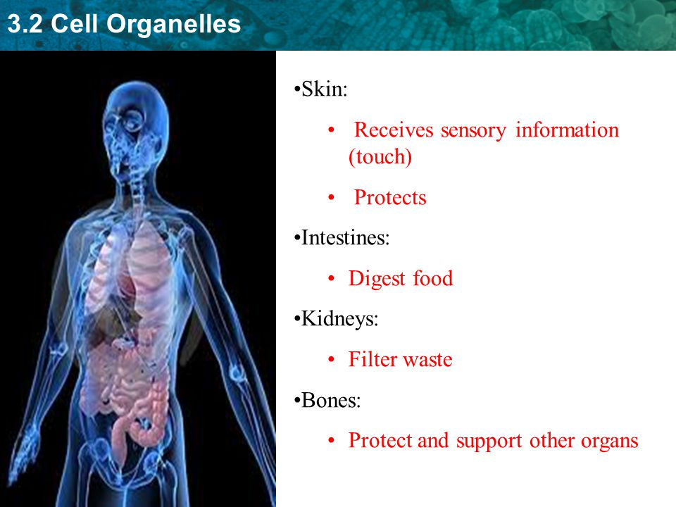 Skin: Receives sensory information (touch) Protects. Intestines: Digest food. Kidneys: Filter waste.