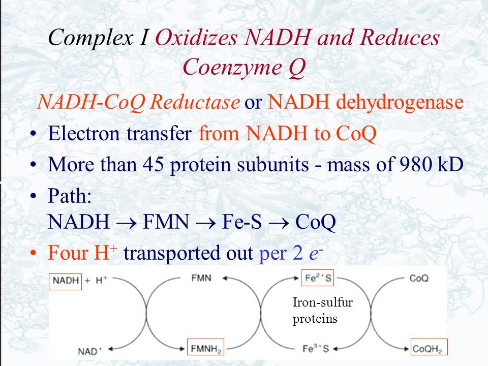 Complex I Oxidizes NADH and Reduces Coenzyme Q