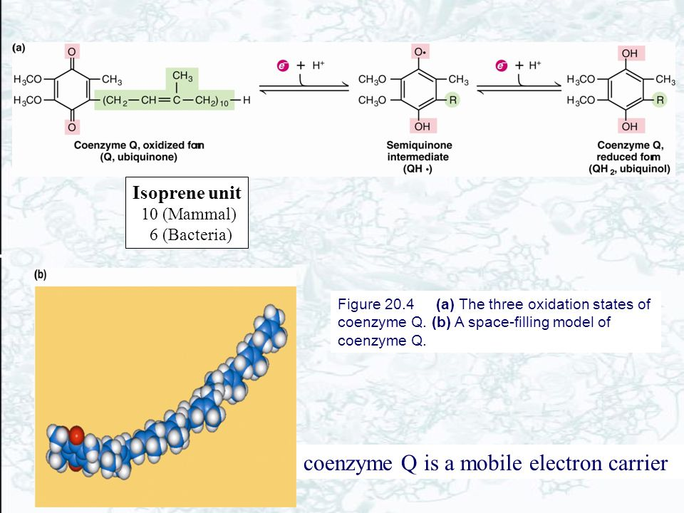coenzyme Q is a mobile electron carrier