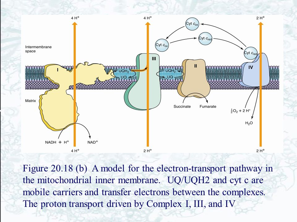 Figure 20.18 (b) A model for the electron-transport pathway in the mitochondrial inner membrane.