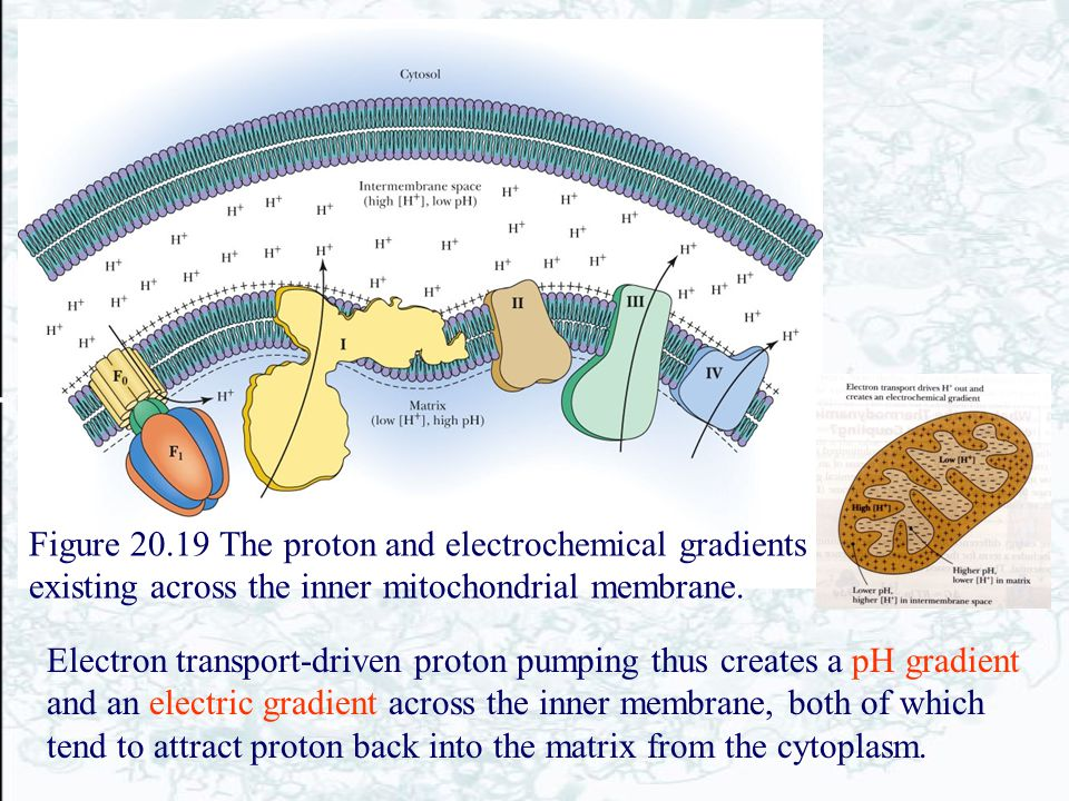Figure 20.19 The proton and electrochemical gradients existing across the inner mitochondrial membrane.