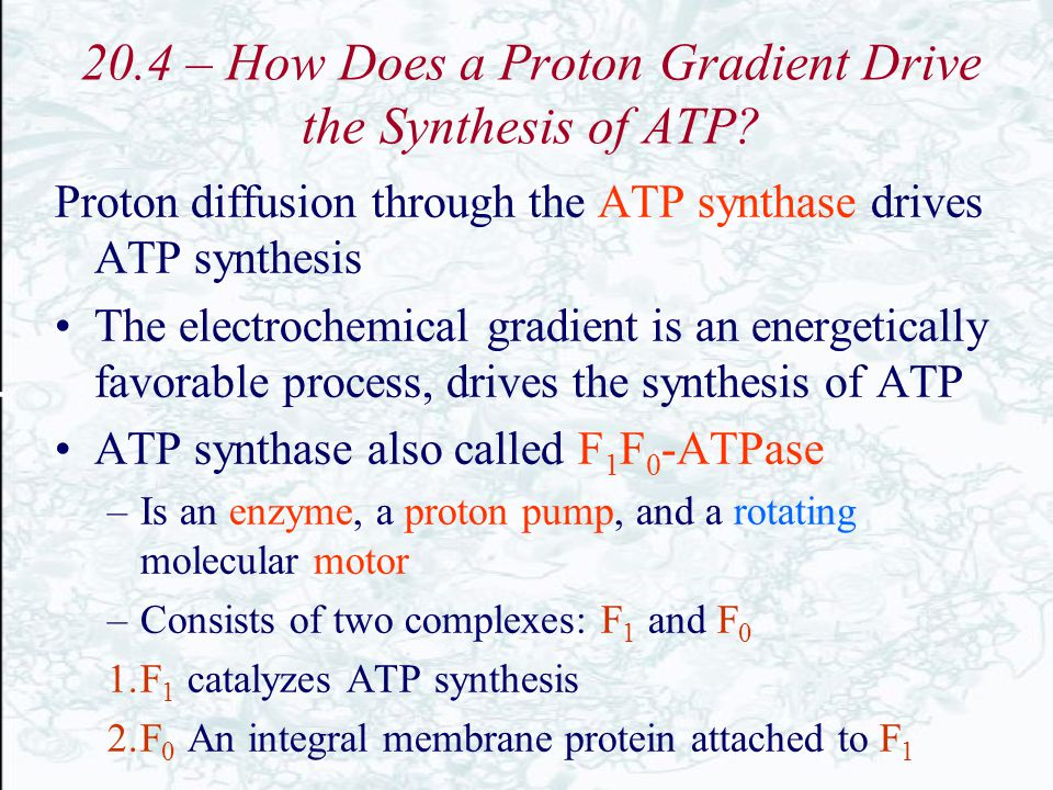 20.4 – How Does a Proton Gradient Drive the Synthesis of ATP