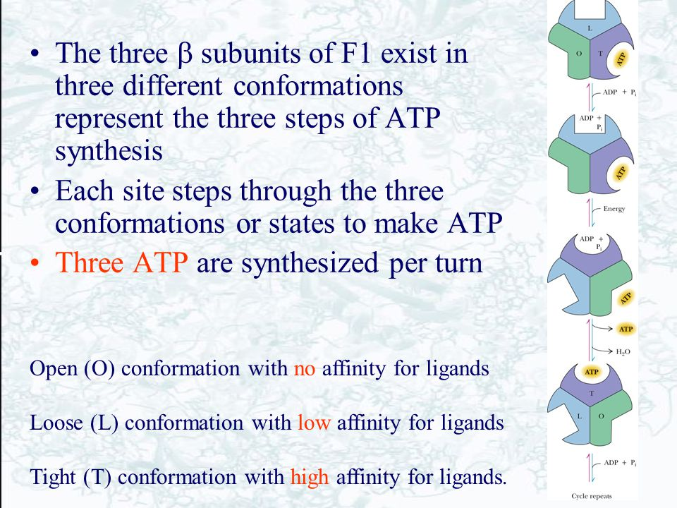 Each site steps through the three conformations or states to make ATP