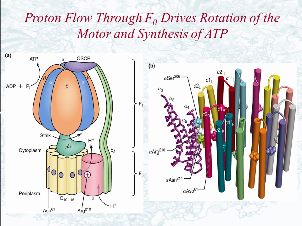 Proton Flow Through F0 Drives Rotation of the Motor and Synthesis of ATP