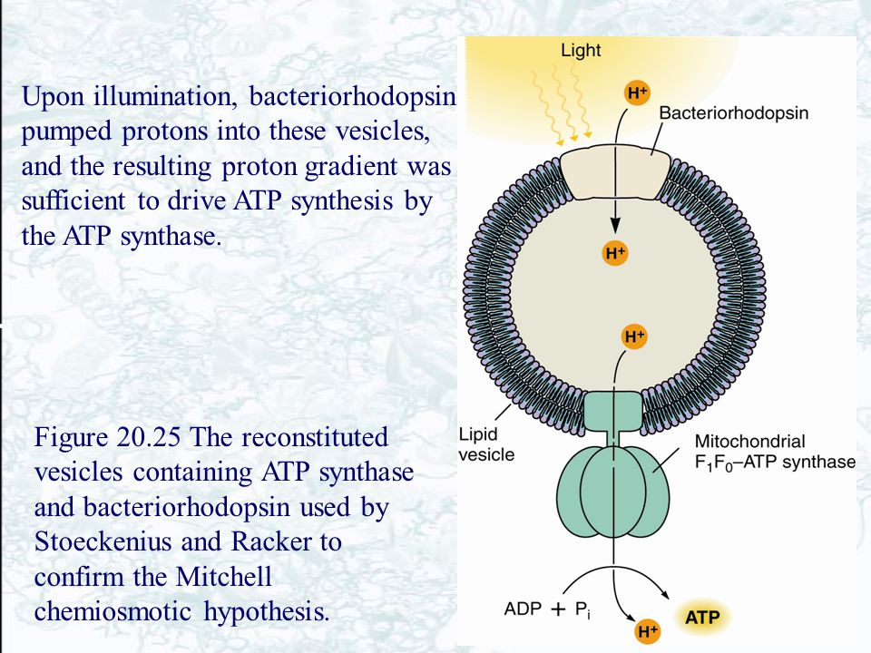 Upon illumination, bacteriorhodopsin pumped protons into these vesicles, and the resulting proton gradient was sufficient to drive ATP synthesis by the ATP synthase.