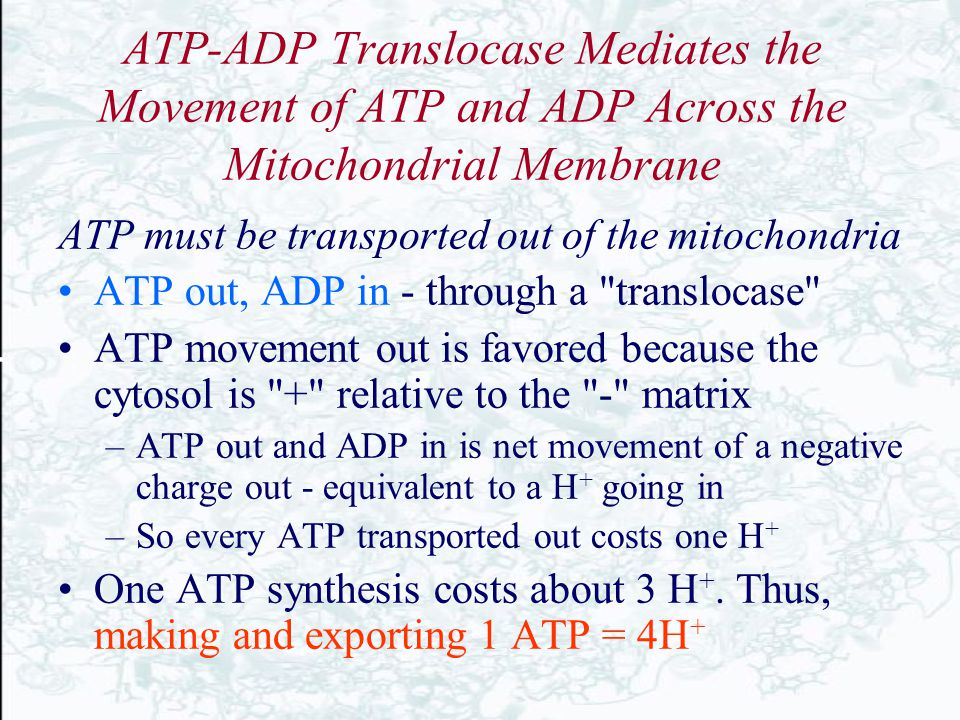 ATP-ADP Translocase Mediates the Movement of ATP and ADP Across the Mitochondrial Membrane