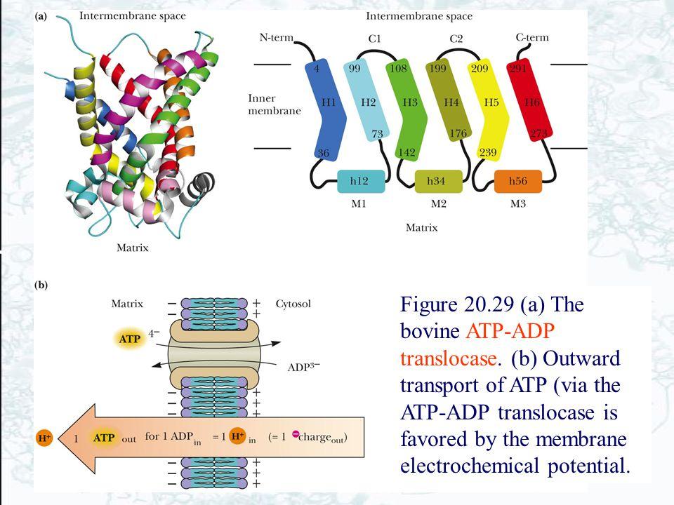 Figure 20. 29 (a) The bovine ATP-ADP translocase