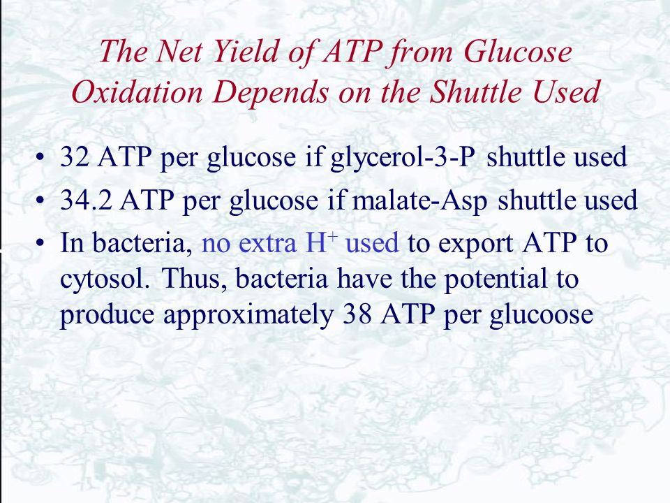 The Net Yield of ATP from Glucose Oxidation Depends on the Shuttle Used