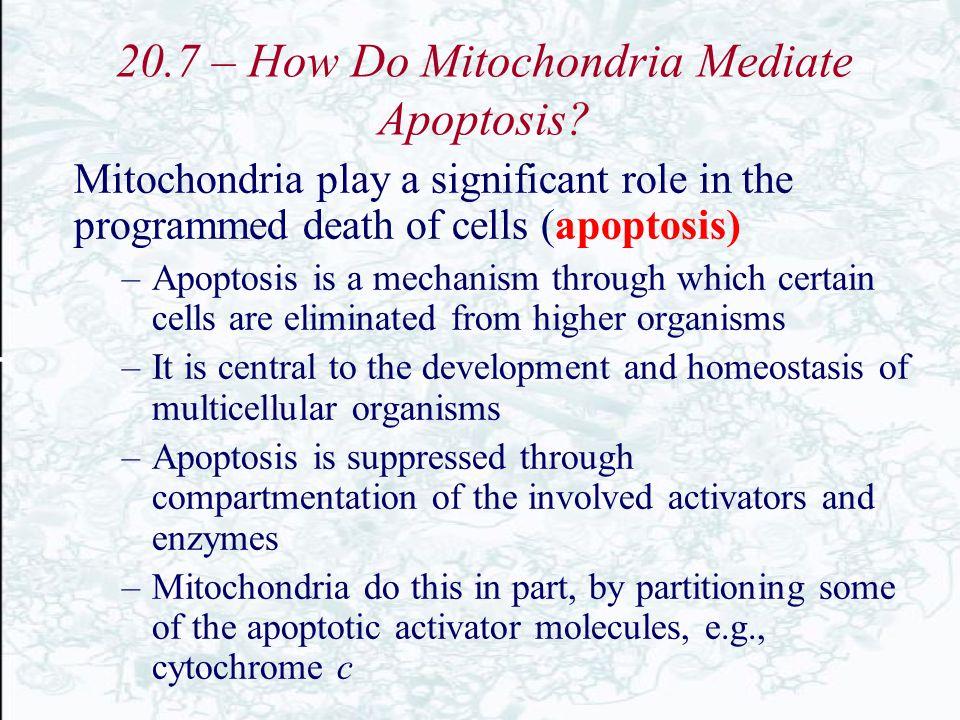 20.7 – How Do Mitochondria Mediate Apoptosis