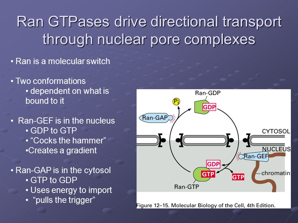 Ran GTPases drive directional transport through nuclear pore complexes