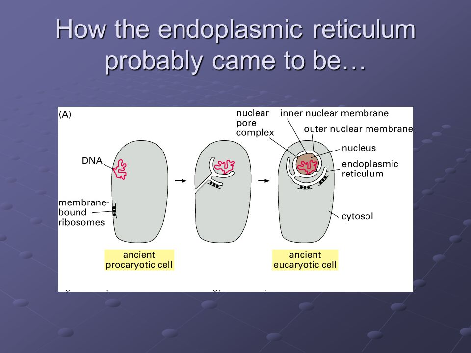 How the endoplasmic reticulum probably came to be…