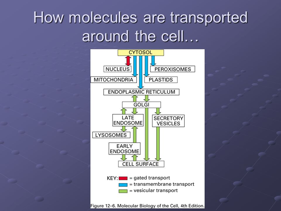 How molecules are transported around the cell…