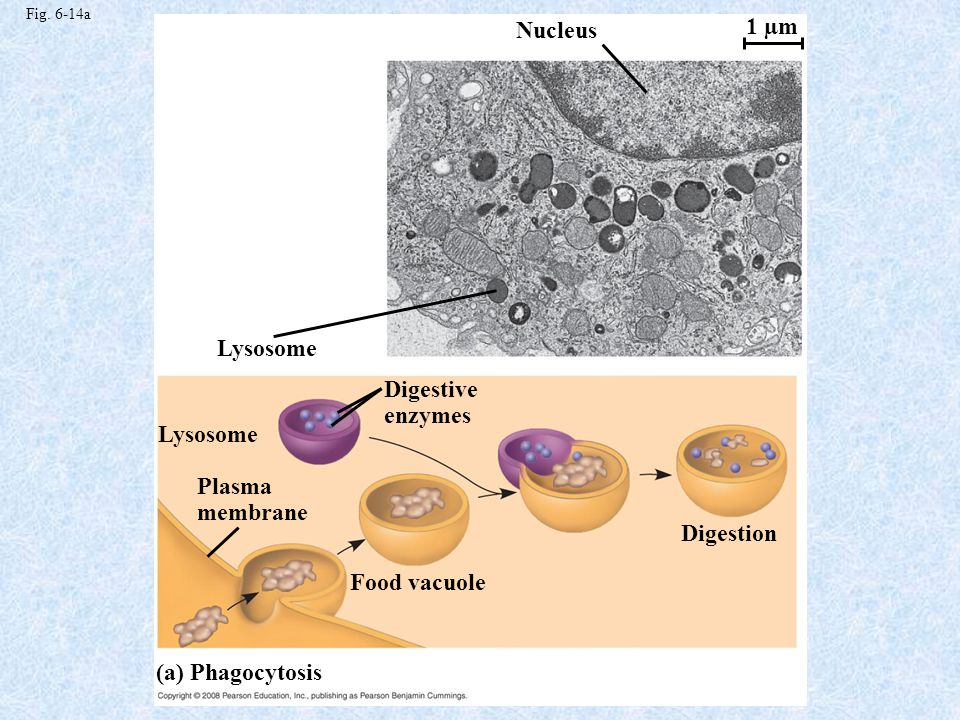 Nucleus 1 µm Lysosome Digestive enzymes Lysosome Plasma membrane