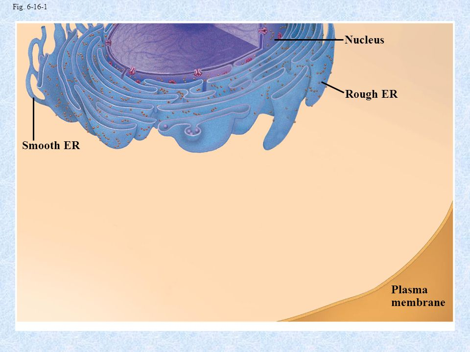 Nucleus Rough ER Smooth ER Plasma membrane Fig. 6-16-1