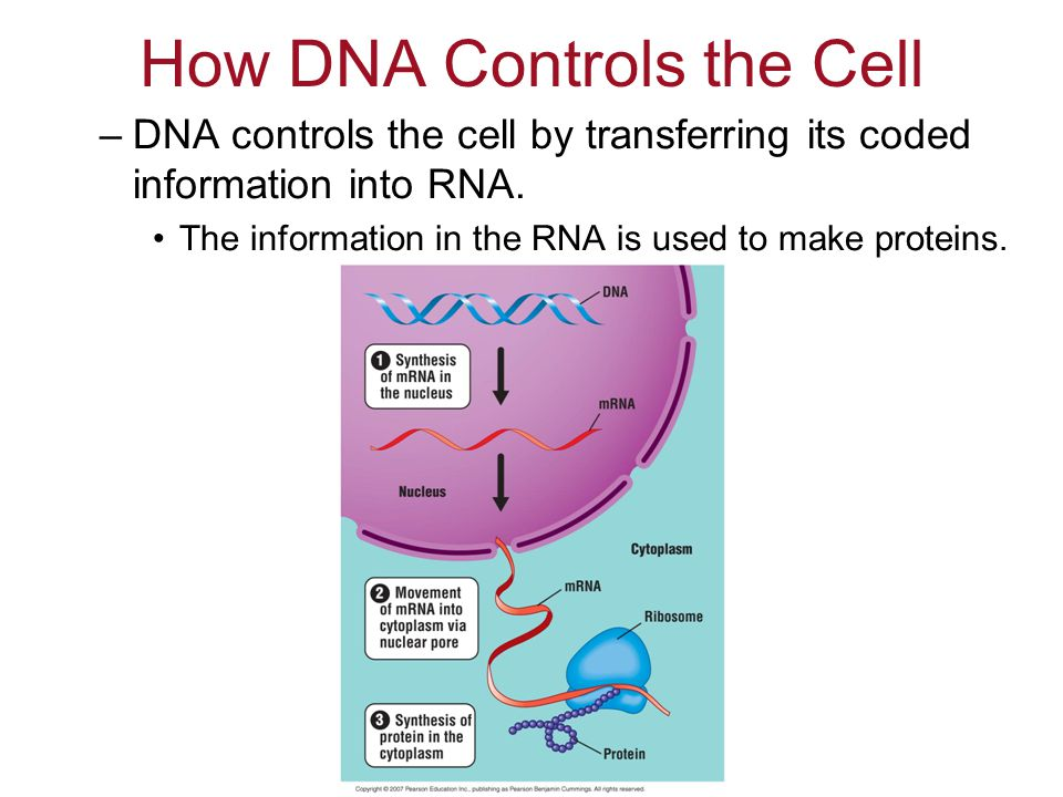 How DNA Controls the Cell