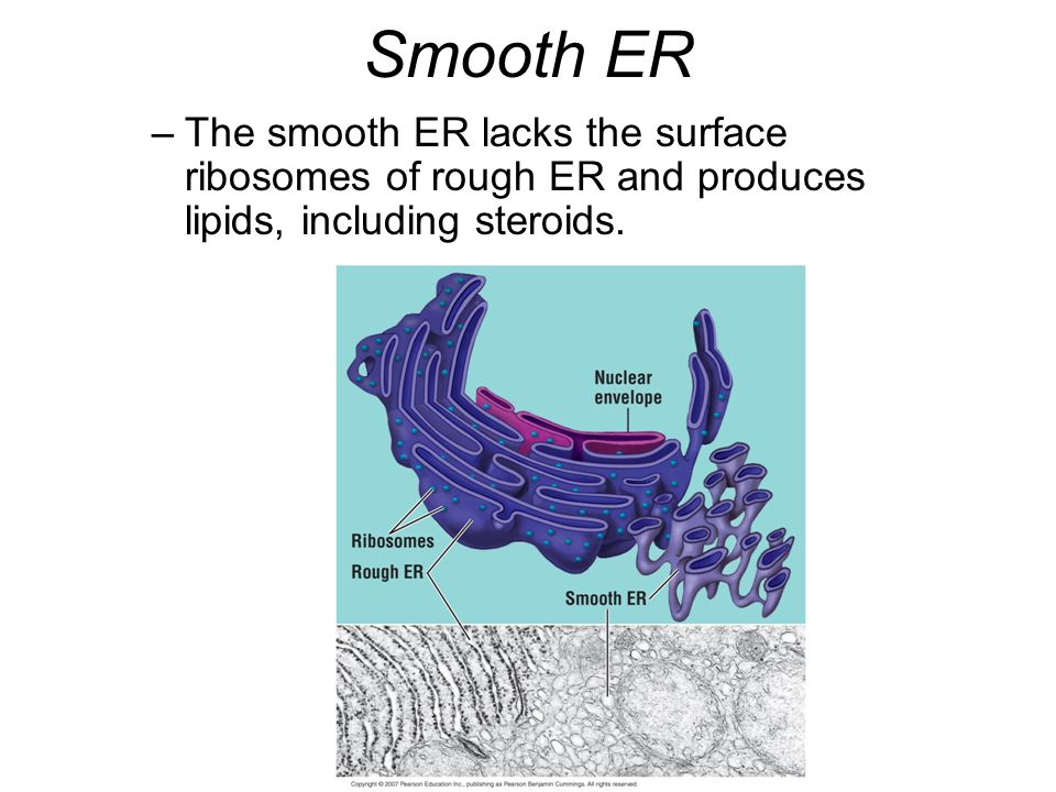 Smooth ER The smooth ER lacks the surface ribosomes of rough ER and produces lipids, including steroids.