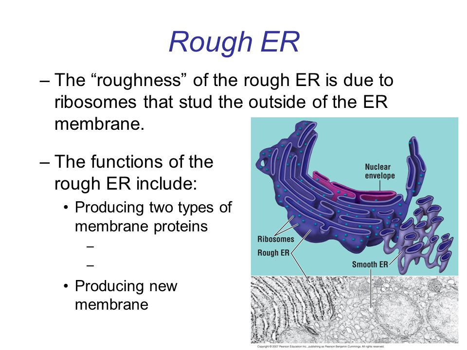 Rough ER The roughness of the rough ER is due to ribosomes that stud the outside of the ER membrane.