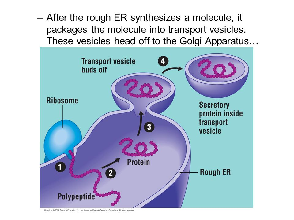 After the rough ER synthesizes a molecule, it packages the molecule into transport vesicles.