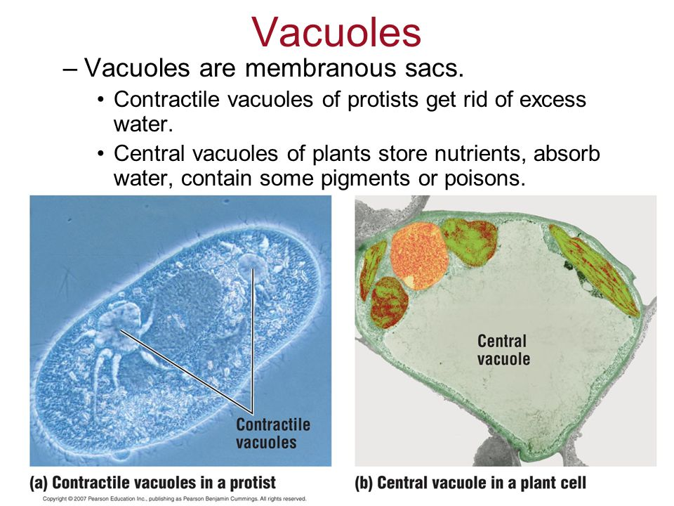 Vacuoles Vacuoles are membranous sacs.