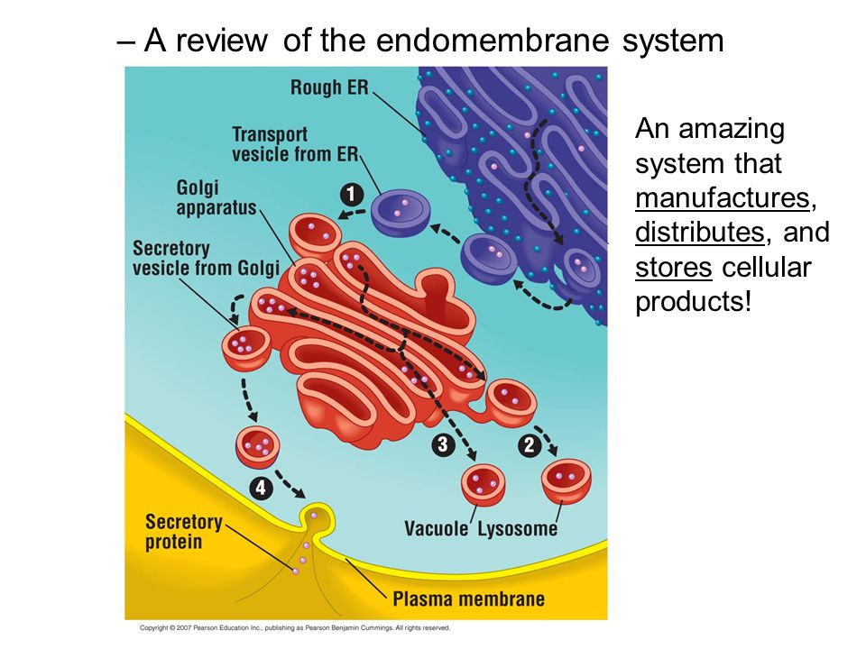 A review of the endomembrane system