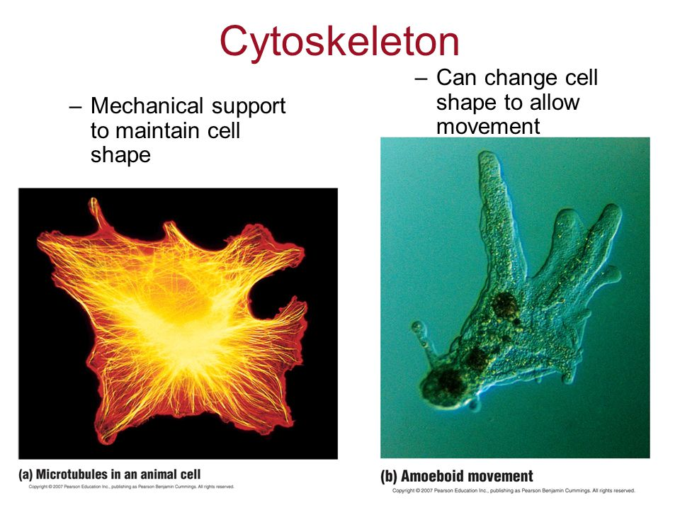 Cytoskeleton Can change cell shape to allow movement