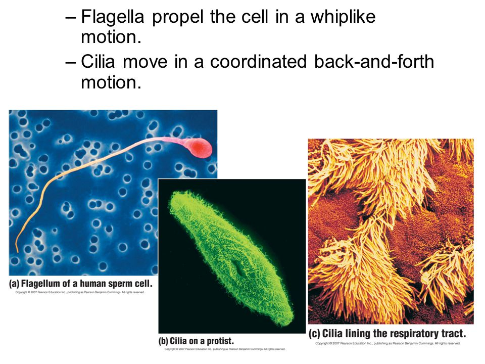 Flagella propel the cell in a whiplike motion.