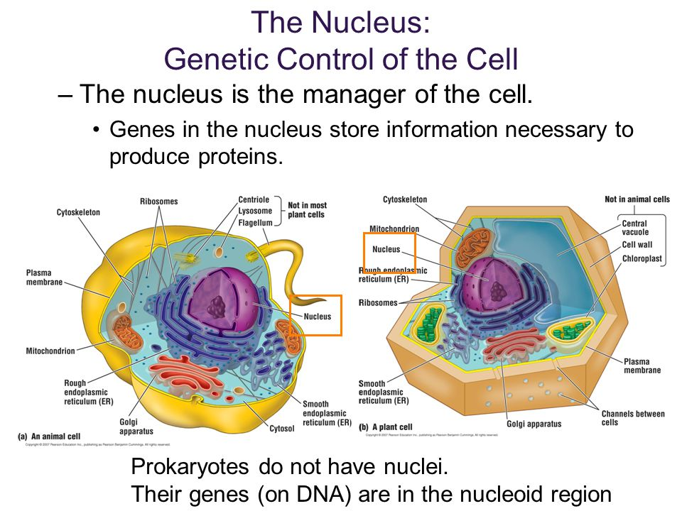 The Nucleus: Genetic Control of the Cell