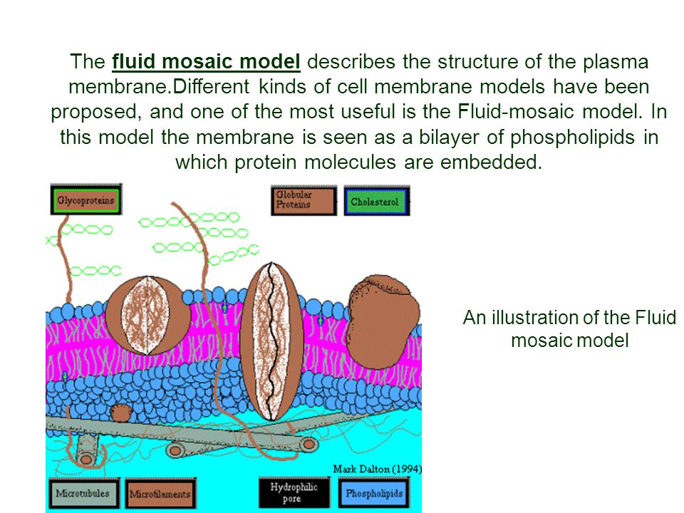An illustration of the Fluid mosaic model