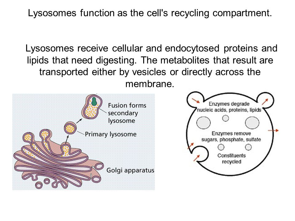 Lysosomes function as the cell s recycling compartment.