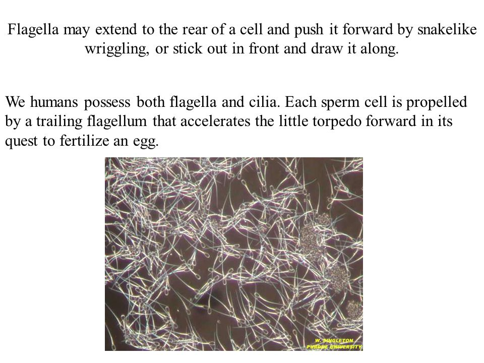 Flagella may extend to the rear of a cell and push it forward by snakelike wriggling, or stick out in front and draw it along.