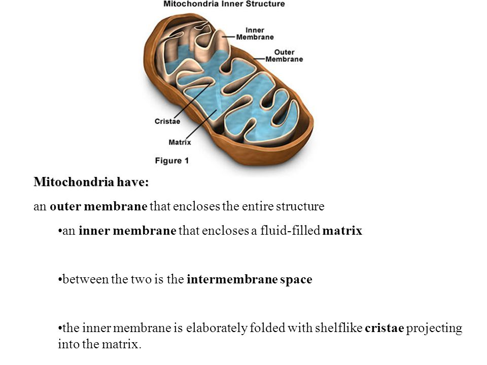 Mitochondria have: an outer membrane that encloses the entire structure. an inner membrane that encloses a fluid-filled matrix.