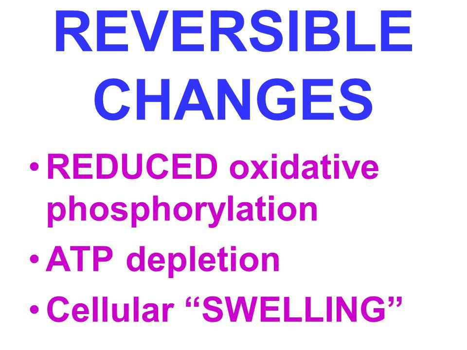 REVERSIBLE CHANGES REDUCED oxidative phosphorylation ATP depletion