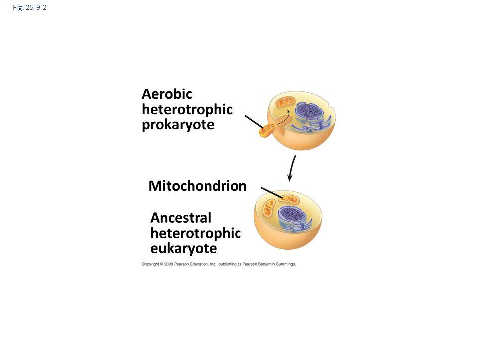 Aerobic heterotrophic prokaryote Mitochondrion Ancestral heterotrophic