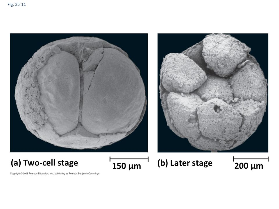 (a) Two-cell stage (b) Later stage 150 µm 200 µm Fig. 25-11