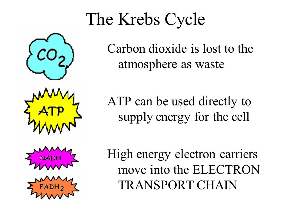 The Krebs Cycle Carbon dioxide is lost to the atmosphere as waste