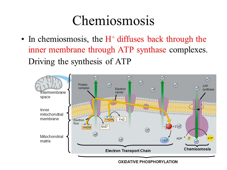 Chemiosmosis In chemiosmosis, the H+ diffuses back through the inner membrane through ATP synthase complexes. Driving the synthesis of ATP.