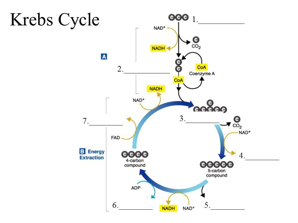 Krebs Cycle 1.___________ 2.___________ 3.________ 7.________