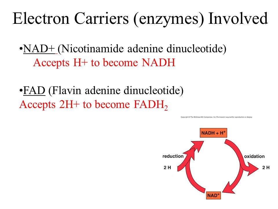 Electron Carriers (enzymes) Involved