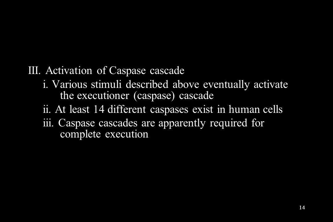 III. Activation of Caspase cascade
