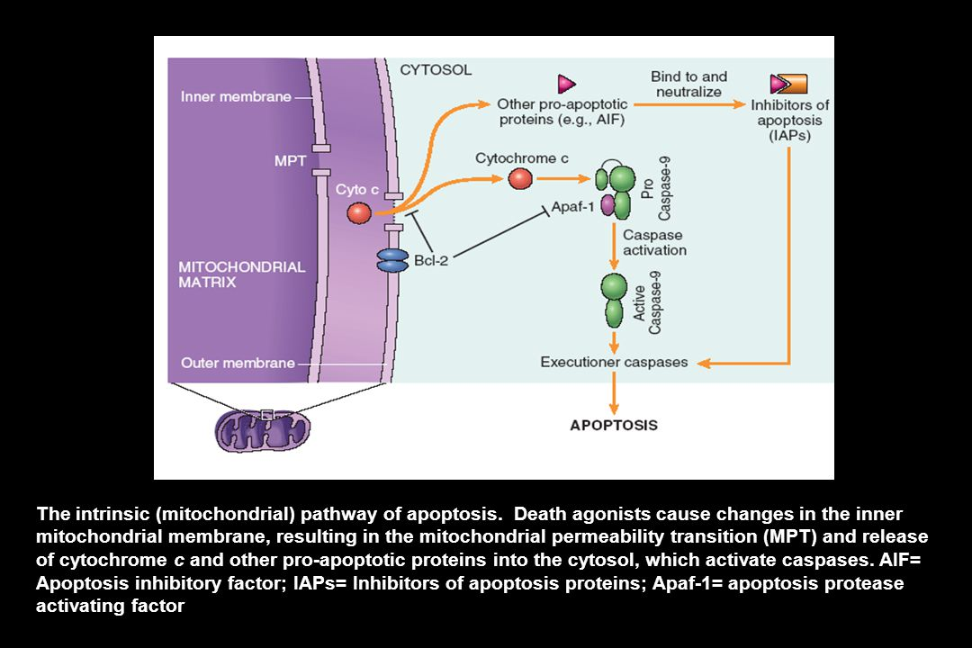 Genes: 1. antiapoptosis: Bcl-2, encodes a mitochondrial membrane protein/ 2. pro-apoptosis: p53.