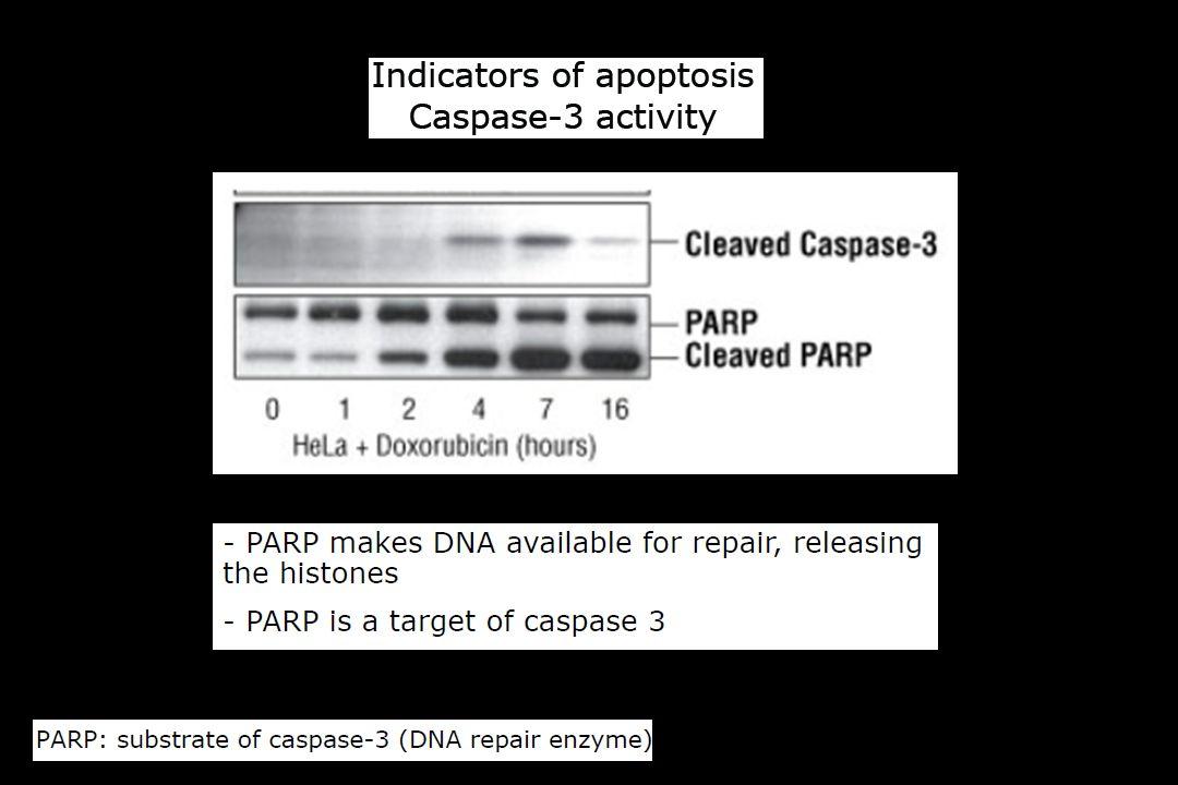 PARP, Poly-(ADP-ribose)-polymerase