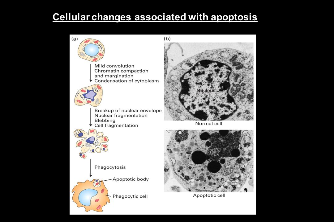 Cellular changes associated with apoptosis