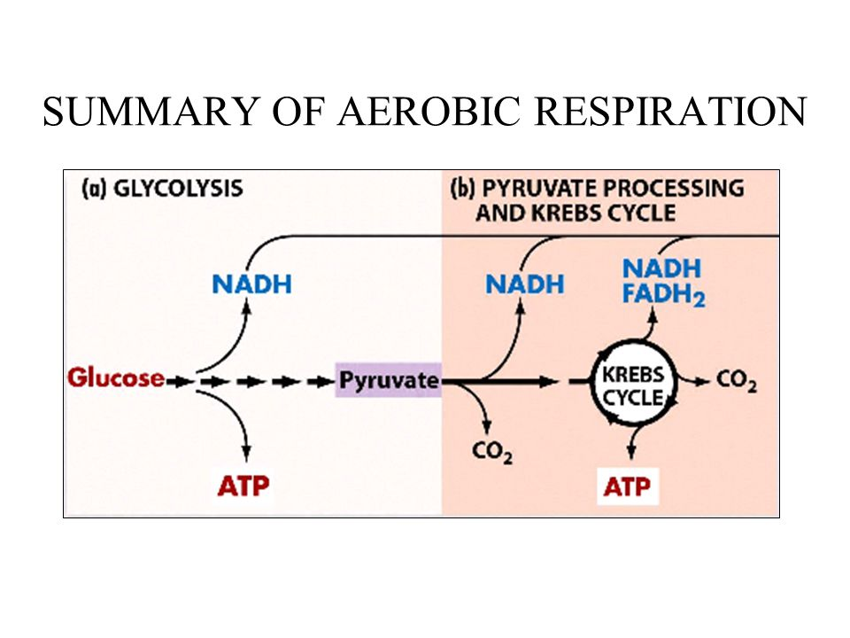 SUMMARY OF AEROBIC RESPIRATION