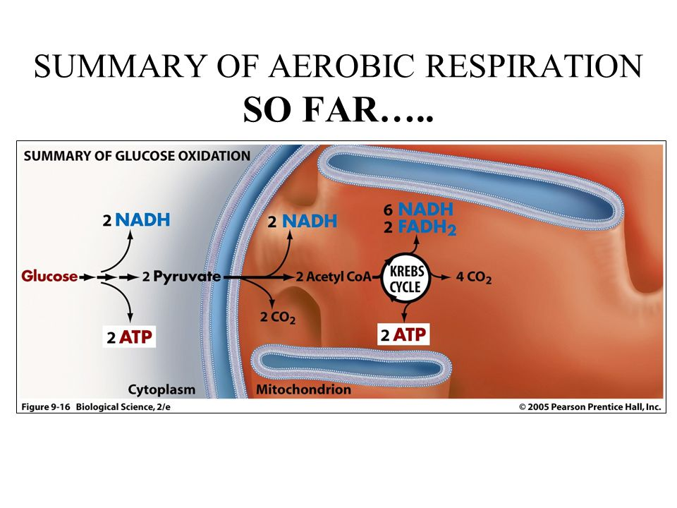 SUMMARY OF AEROBIC RESPIRATION SO FAR…..