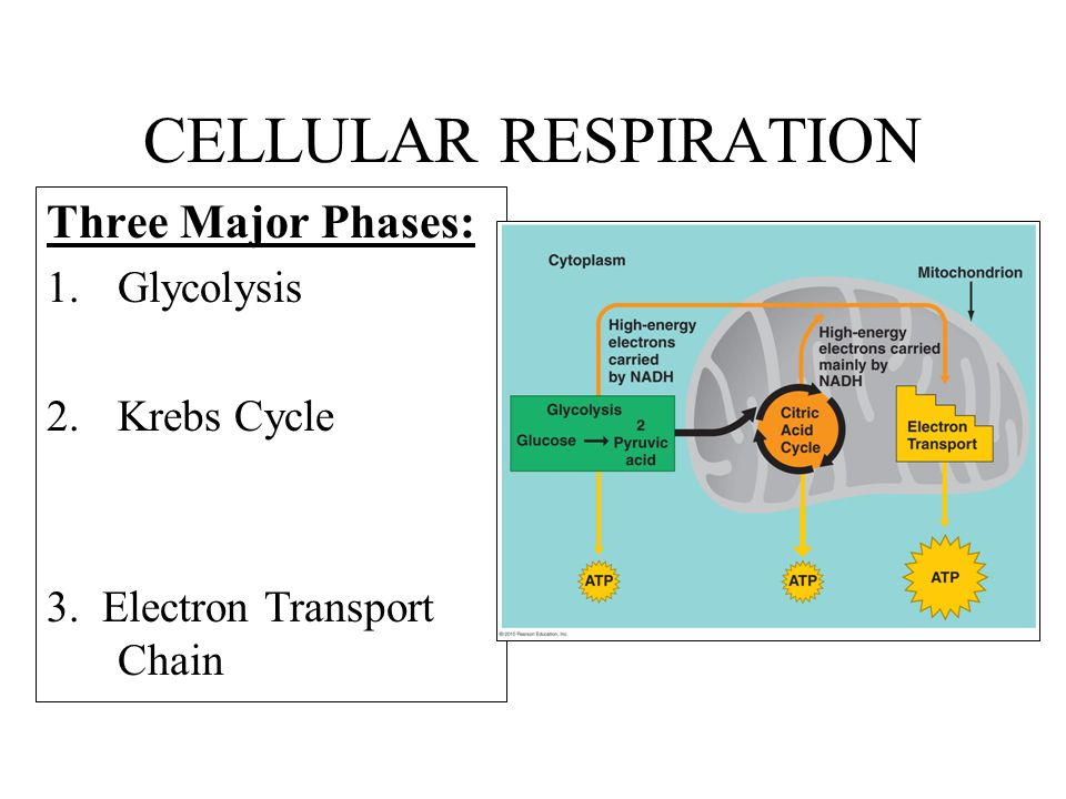 CELLULAR RESPIRATION Three Major Phases: Glycolysis Krebs Cycle